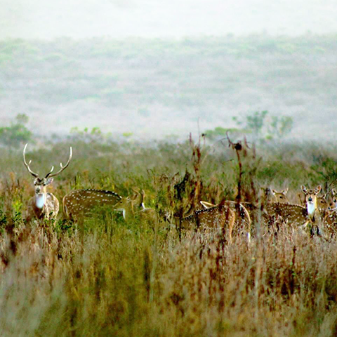 Tall grassy field with herd of white spotted deer standing with cloudy foggy background
